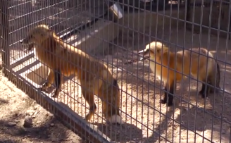 Austin Zoo's Red Foxes